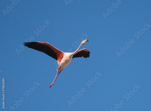 Foto op Canvas Flamingo Greater Flamingo in Flight