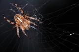 Araignée porte-croix