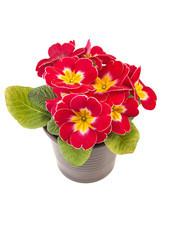 Red yellow Primrose potted plant