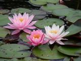 3 schöne Seerosen auf der Wasseroberfläche