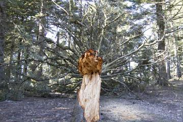 Ağaç ve Afet