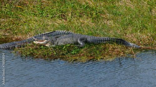 Foto op Plexiglas Krokodil Alligator Everglades