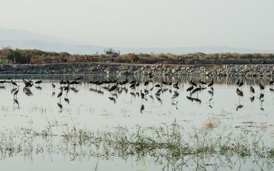 Black Storks