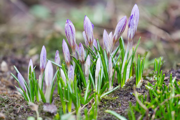Purple violet crocuses with closed flowers