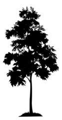 Acacia tree and grass silhouette