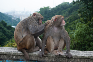 Monkey serving each other