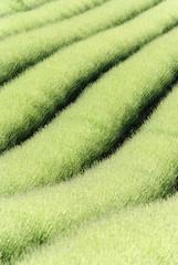 champ de lavande au printemps