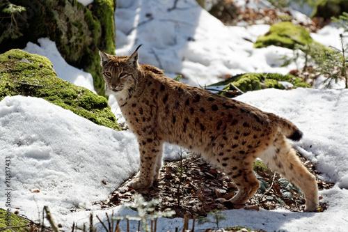Staande foto Lynx Luchs (lynx lynx)