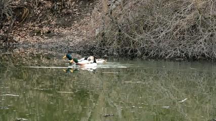 ducks swiming in lake
