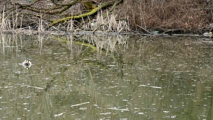 duck swiming in lake