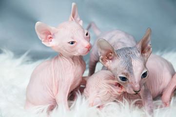 Sphynx hairless kittens   on fur, light laying