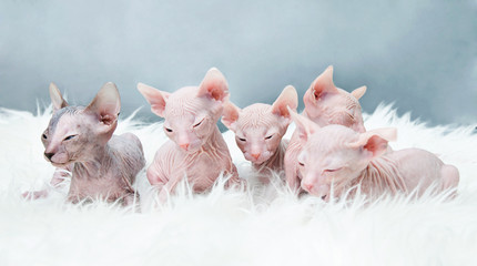 Sphynx hairless kittens   on fur, light laying