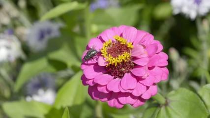 Fliege auf Zinnie