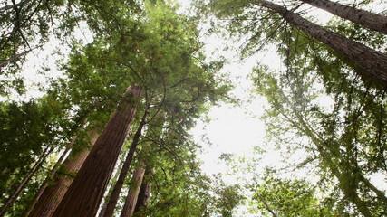 Pan of Giant Sequoias Redwood Trees in California