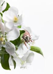 June Bug on apple flower