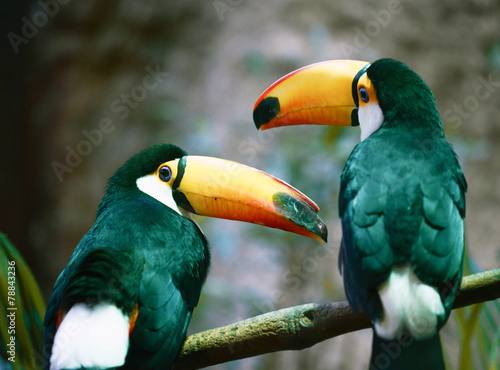 Toucan (Ramphastos toco) couple sitting on a branch