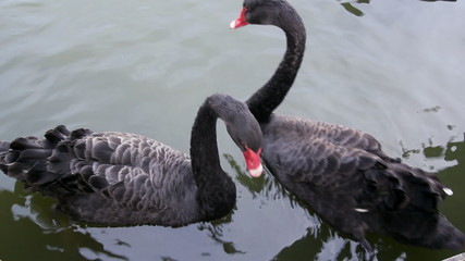 Two black swan floats in a pond