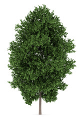 large-leaved lime tree isolated on white background