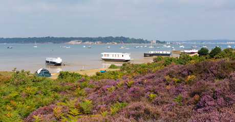 Purple heather view to Brownsea Island Poole Harbour Dorset