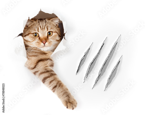 Foto op Plexiglas Kat Funny cat in wallpaper hole with claw scratches isolated
