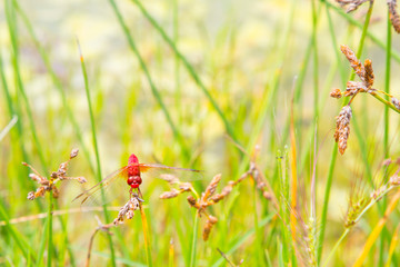 Red dragonfly looking forward and green background