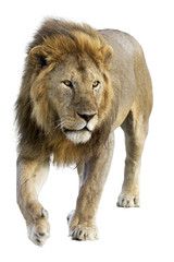 Wild free roaming male lion against white background