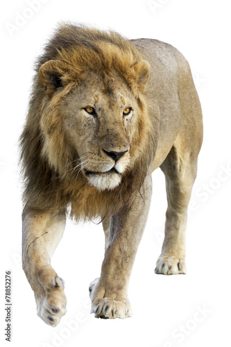 Foto op Aluminium Leeuw Wild free roaming male lion against white background