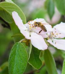 Honey bee on the apple tree flowers blossom closeup
