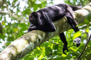 Howler monkey in canopy