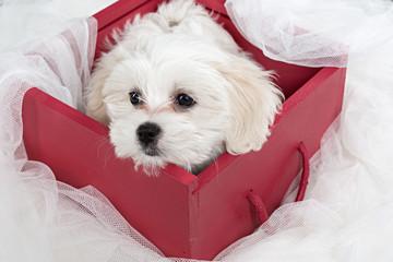 Cachorro de perro bichón maltés en caja 3.
