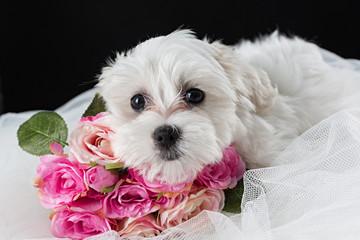 Cachorro de perro bichón maltés y ramo de flores.
