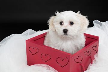 Cachorro de perro bichón maltés en caja 2.