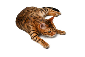 bengal cat lies on white and looking up