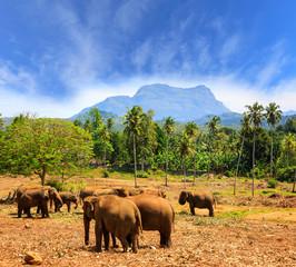 Elephants in park Pinawella on SriLanka