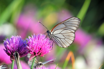 Pieris butterflies (The large white) on a chive flowers