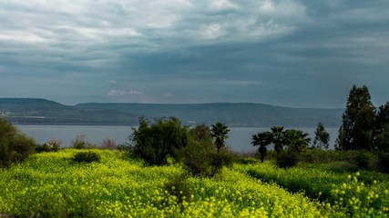 4K time lapse view of the yellow mustard flower field on the