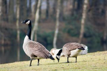 Branta geese
