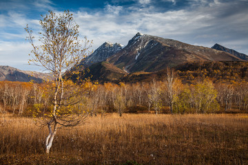Dual young birch in a mountain valley. Autumn forest.