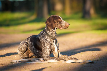 German pointer dog on obedience training