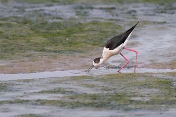 The lunch of the Black-winged stilt (common stilt, pied stilt,