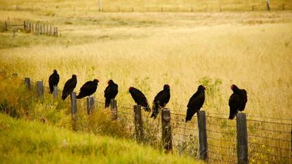 Wild Turkey Vulture Buzzards Sitting on a Fence