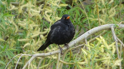Blackbird sitting on tree branch