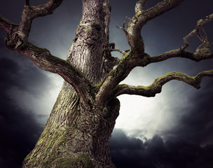 Spooky oak tree