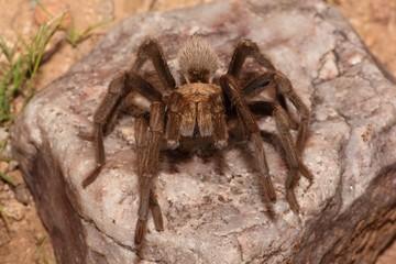 Desert Blonde Tarantula (Aphonopelma Chalcodes)