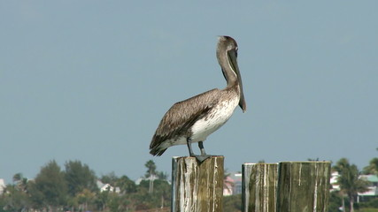 Pelican on a Dock - Time Lapse 2 of 2