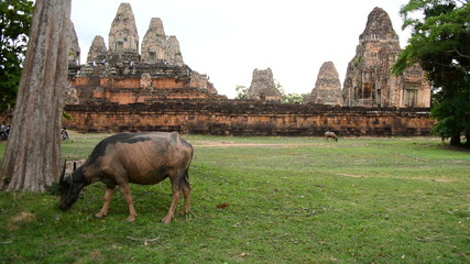 Zoom Out - Ox Eating Grass with Temple Remains in the Background - Angkor Wat Temple Cambodia