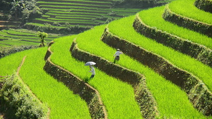 Workers Planting Rice in Scenic Rice Terraces - Northern Mountains Sapa Vietnam