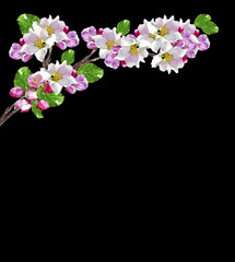 Flowering branch of cherry isolated on a black background