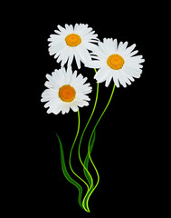 daisy flowers isolated on black background