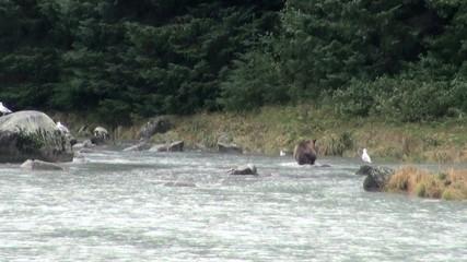 Alaska - Brown Bear Fishing In Rainy Day